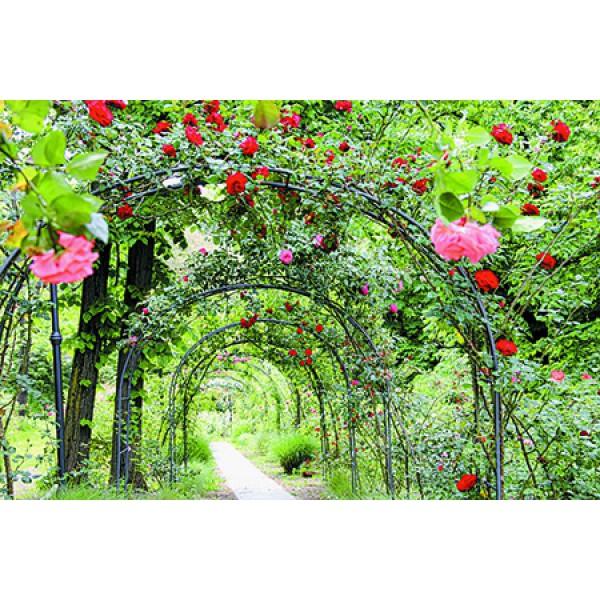 Ein Garten der Rosenträume auf der Insel Mainau